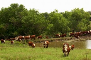 About Us | Windhorst Polled Herefords